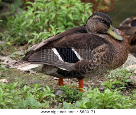 Black Winged Duck