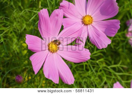Bee on cosmos flower in the garden poster