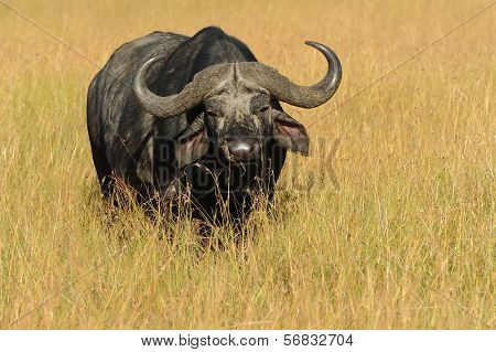 An African or CapeBuffalo (Syncerus caffer) in the Masai Mara National Reserve safari in southwestern Kenya.