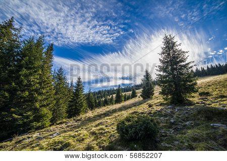 Alto-stratus and pines