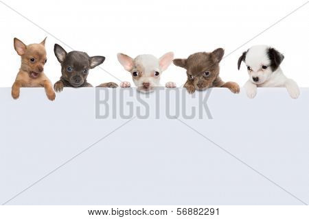 Five cute chihuahua puppies holding an empty banner