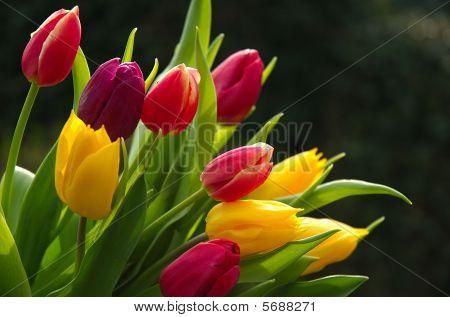Colorful tulip stems