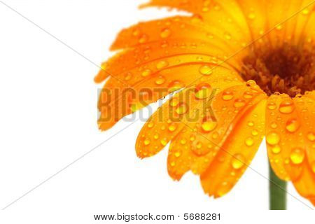 Orange Daisy Macro With Droplets