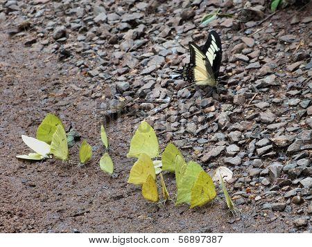Group Of Pieridae Butterflies
