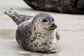 A smiling Harbor Seal on the beach in California poster