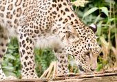 Persian leopard in captivity at the Santago rare leopard breeding centre in England. poster