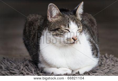 Siamese Cat Sitting On Carpet
