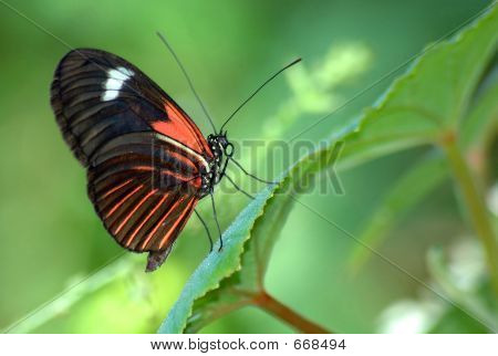 Heliconius erato notabilis butterfly on green leaf. poster