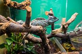 Exotic lizard in the terrarium. Lizard sitting on a branch. Terrarium with beautiful lizards. Pets exotic Pets, reptiles. Blue lizard poster