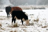 cattle grazing in a snow covered field poster