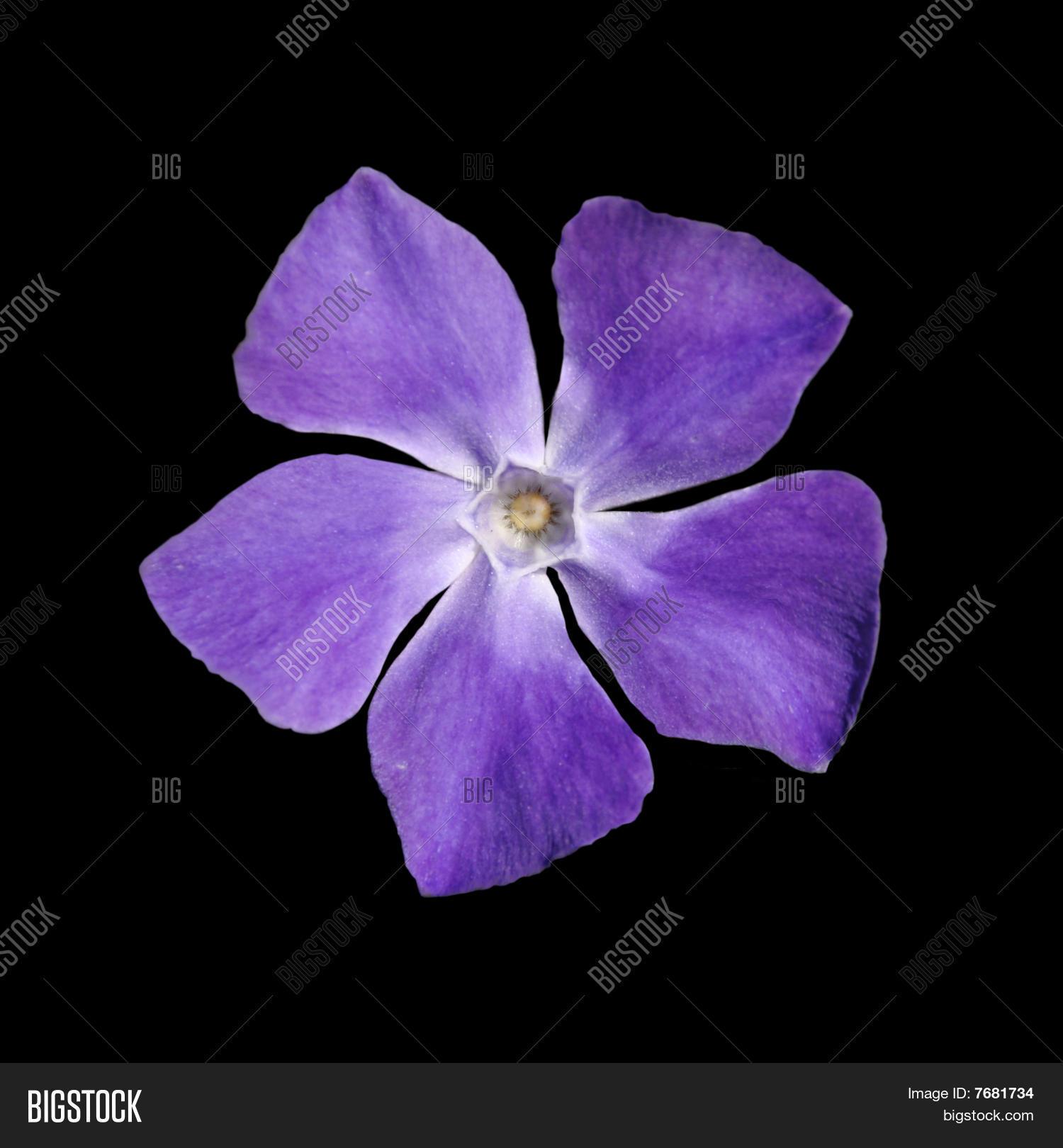 Imagen Y Foto Bígaro Flor Morada Prueba Gratis Bigstock