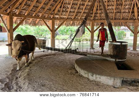 LA DIGUE, SEYCHELLES - 21 OCTOBER 2014 - Ox driving the milling equpiment to extract coconut oil from the dried copra at the l'Union Estate, La Digue Seychelles watched by a handler on 21 October 2014