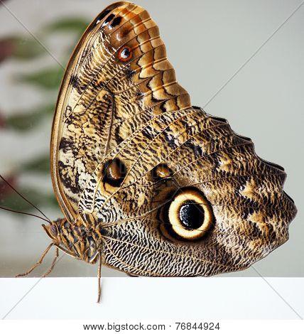 Owl Butterfly / Caligo eurilochus