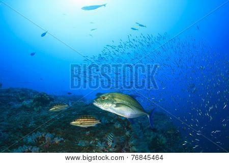 Trevally fish hunting