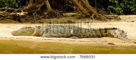 Lazing Crocodile