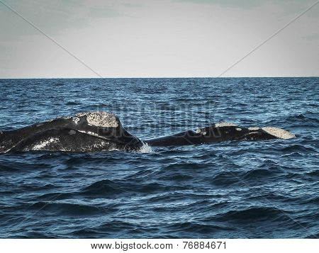 Pair Of Right Whales Up Close