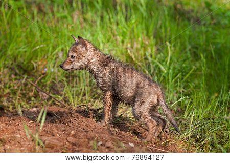 Soaking Wet Coyote Pup (canis Latrans) At Densite