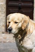 Headshot of a golden retriever waiting patiently in the sun for his owner poster