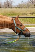 a saddlebred horse drinking from a water trough poster