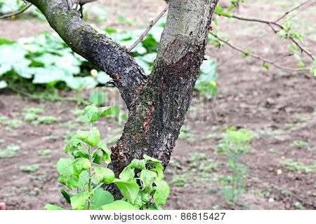 Blackened Trunk Of Apple Trees Due To Lesions Of The Disease
