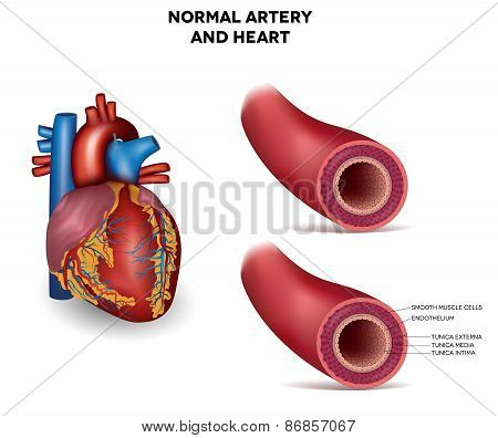 Artery and heart