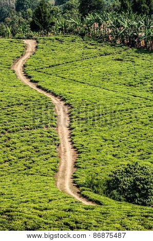 Bright Green Teafields With Sand Road Passing Through.