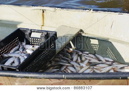 fishery, catch of freshwater  fish peled in boat poster