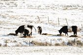 Belted Galloway cows stood in a field with snow poster