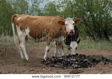 cow in the red spo