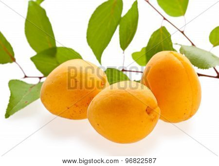 Three Fresh Apricots And Green Branch