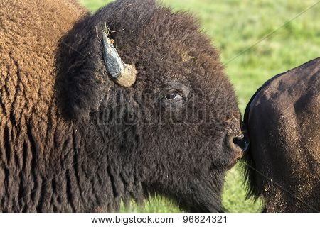 American bison bull smelling rear end of cow; Maxwell Wildlife Preserve, Kansas poster