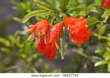 Dwarf pomegranate Latin name punica granatum nana