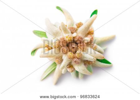 Edelweiss flower isolated on white background