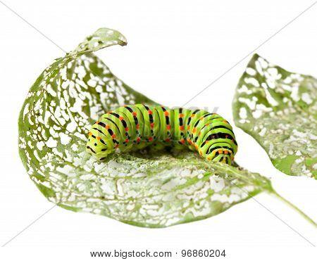 Caterpillar Chewing A Leaf