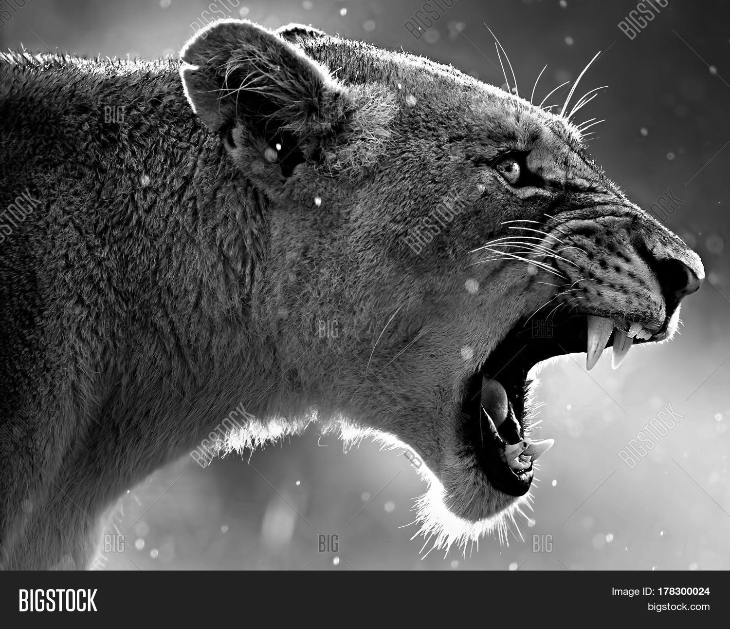 Aggression Lion Face Image & Photo (Free Trial) | Bigstock