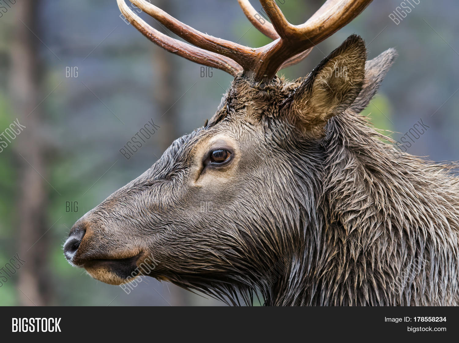 Closeup profile rocky image photo free trial bigstock closeup profile of a rocky mountain bull elk publicscrutiny Image collections