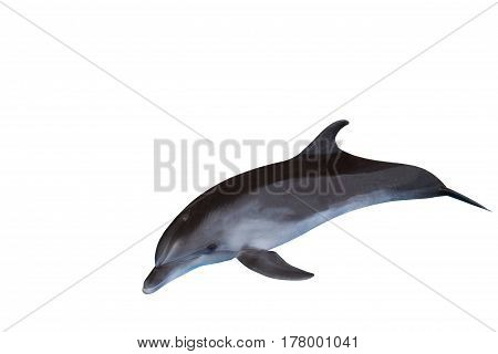 The dolphin isolated on a white background , sea inhabitant