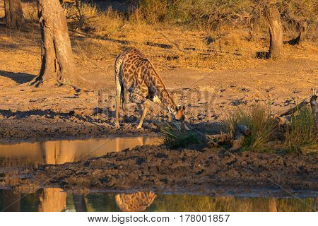 Giraffe Drinking From Waterhole At Sunset. Wildlife Safari In The Mapungubwe National Park, South Af