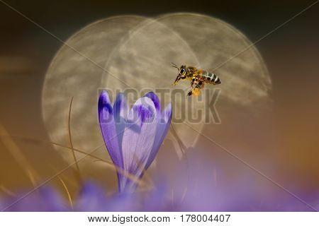 Honeybee (Apis mellifera) bee flying over the crocus in the spring on a mountain meadow in the Tatra Mountains Poland in the background reflected light reflections