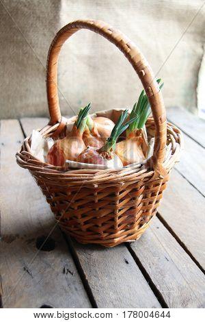 Onions in a basket. Wicker basket full of onions.