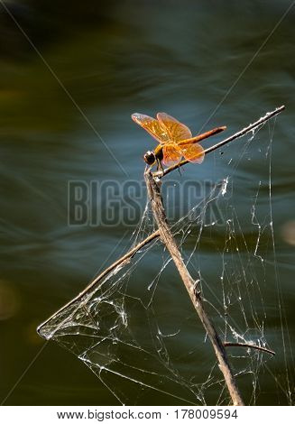 Tattered sails.  Orange Dragonfly perched on dead wood covered in old cobwebs protruding from lake, dark background  with ripple effect, giving the impression of a ships mast with damaged sails.