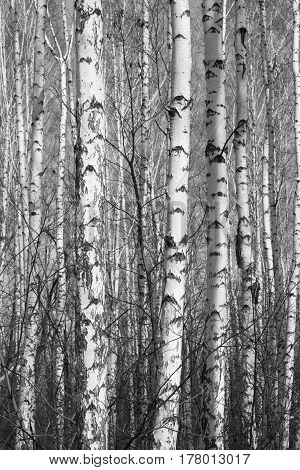 birch forest, beautiful black and white photo