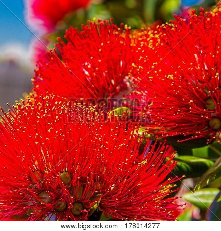 pohutukawa - New Zealand Christmas tree with red flowers image. Soft selective focus and shallow depth of field