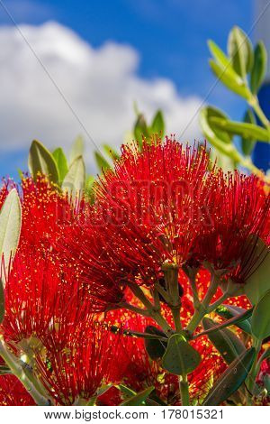 pohutukawa - New Zealand Christmas tree with red flowers photo