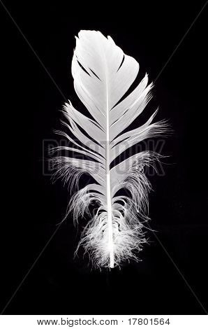White Swan Feather Isolated