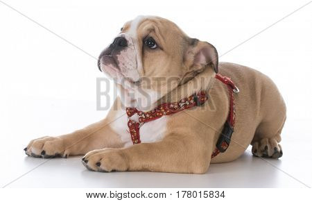 bulldog puppy laying down wearing a harness