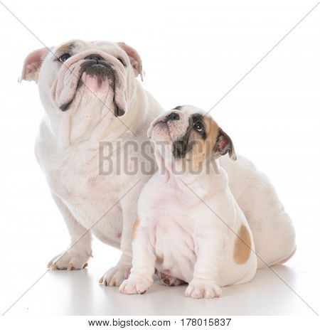 mother and son dogs sitting on white background
