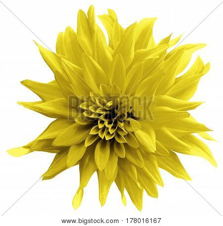 Yellow flower. isolated on the white background with clipping path. Close-up. Shaggy yellow flower dahlia. Nature.