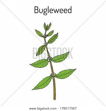 Bugleweed Lycopus Europaeus , Or Gypsywort, Water Horehound - Medicinal Plant