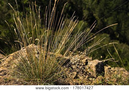 Dry grass turf backlit by morning sunshine at Divcibare mountain, west Serbia